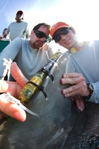 Helping to attach a satellite tag to a 3 meter tiger shark in the Bahamas